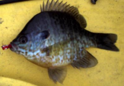 Small Fish 5