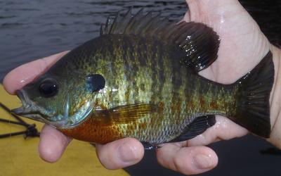 Pre-Hurricane Panfish