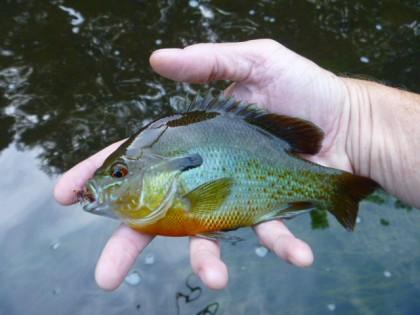sunfish panfish bream redear