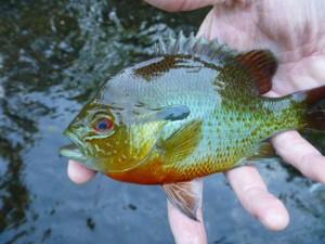 sunfish redear bream
