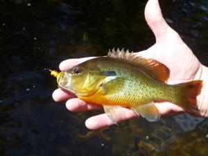 Musconetcong panfish fall 2012