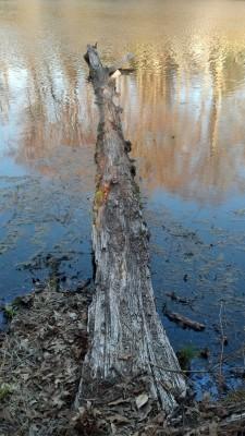 log on pond, flyfishing, popper, crappie