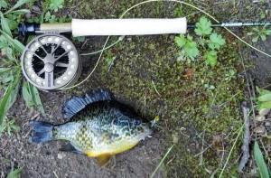 bluegill, bream, Sage Circa, Sage Click 3, Sage Click III, pond fishing, 3 wt
