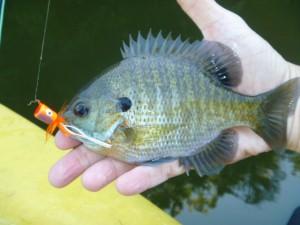 bream, popper, fly fishing, Pond Brook, Housatonic River