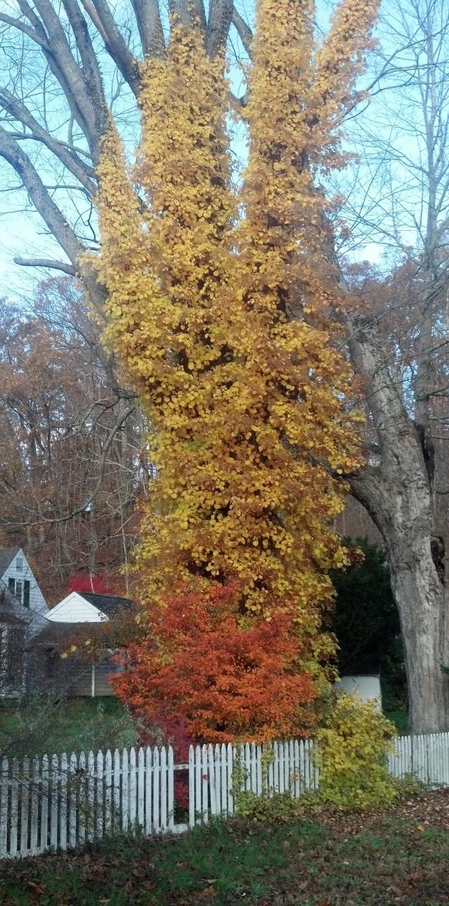 creeping vine, autumn, fall colors, november