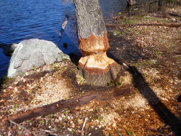 Beaver's Progress