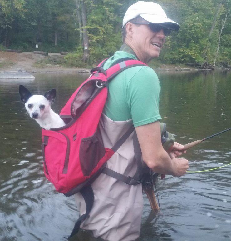 Tippet, fishing dog, chihuahua, Fall 2017, Housatonic River, Finfollower