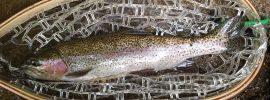 rainbow trout, Pomeraug River, Fly Fishing, streamer fishing, summer fishing, FinFollower