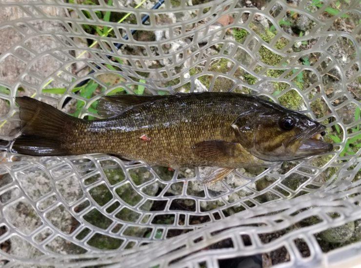 smallmouth bass, Pomeraug River, Fly Fishing, streamer fishing, summer fishing, FinFollower