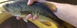 pond fishing, kayak fishing, warmwater flyfishing, spring fishing, Newtown CT, balsa poppers, fiberglass rod, bass